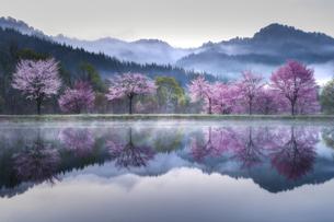 桜並木の写真素材 [FYI04955416]