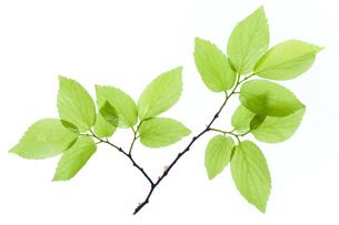 新緑の葉の写真素材 [FYI04955895]