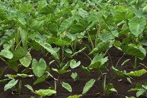 畑に植えられ育つサトイモとヤツガシラの芋茎と葉の写真素材 [FYI04955905]
