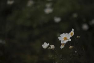 白いシュウメイギクの写真素材 [FYI04956122]
