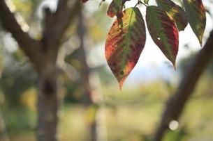 色づき始めた桜の葉の写真素材 [FYI04956133]