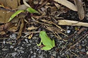 枯れ葉などが落ちている道端に座るニホンアマガエル(両生綱無尾目アマガエル科アマガエル属)の写真素材 [FYI04956499]