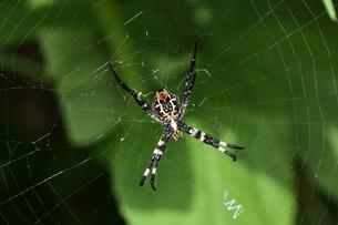 クモの糸と緑の葉とコガネグモ(クモ目コガネグモ科)の写真素材 [FYI04957053]