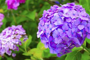 紫陽花の写真素材 [FYI04957135]
