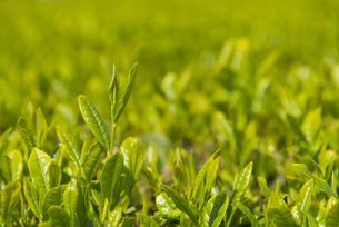 お茶の新芽の写真素材 [FYI04957672]
