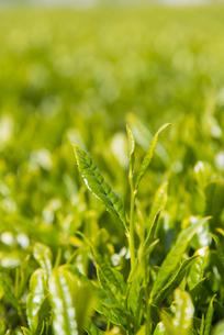 お茶の新芽の写真素材 [FYI04957677]