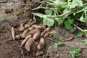 ヤーコンの収穫の写真素材 [FYI04957741]