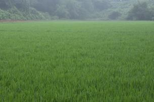 朝霧が立ち込める水が張られ稲が育ち緑色になった田んぼの光景の写真素材 [FYI04957819]