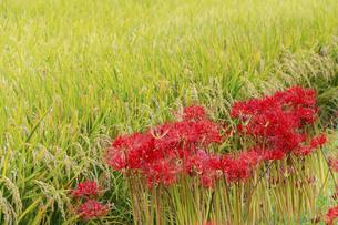 実った稲穂と土手に咲く彼岸花の写真素材 [FYI04957877]