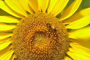 あけぼの山農業公園に咲くヒマワリ(キク科の一年草の植物)の黄色い色の花と葉と花粉に塗れたセイヨウミツバチ(ハチ目ミツバチ科)の写真素材 [FYI04958187]