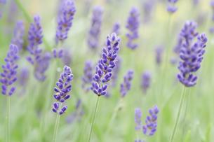 ラベンダーの花のクローズアップの写真素材 [FYI04958754]