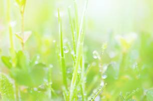 朝露のついた緑の草の写真素材 [FYI04958777]