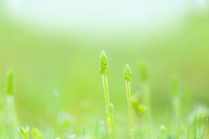 朝露のついた緑の草の写真素材 [FYI04958778]