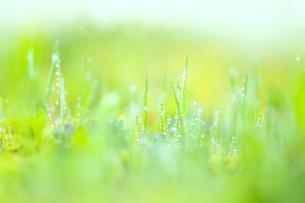 朝露のついた緑の草の写真素材 [FYI04958779]