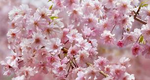 満開の枝垂桜の写真素材 [FYI04958880]
