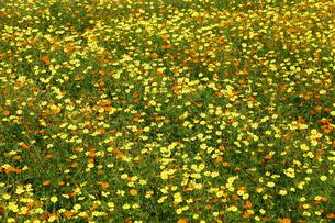 キバナコスモス満開のお花畑の写真素材 [FYI04958883]
