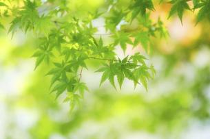 緑の楓の写真素材 [FYI04959559]