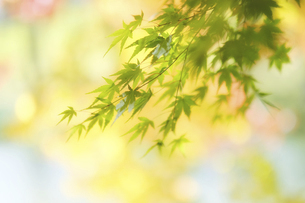 緑の楓の写真素材 [FYI04959564]