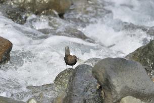 虫を捕らえたカワガラス(北海道・知床)の写真素材 [FYI04959877]