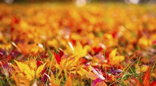 落葉の背景素材の写真素材 [FYI04960183]