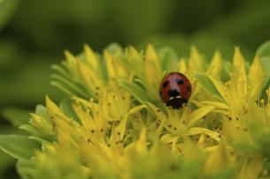 黄色いベンケイソウの花とテントウムシの写真素材 [FYI04960285]