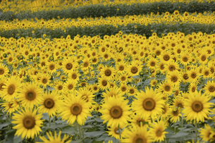 ヒマワリの花畑の写真素材 [FYI04960582]