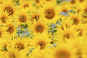 ヒマワリの花畑の写真素材 [FYI04960583]