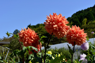 青空と花の郷日野ダリア園の写真素材 [FYI04960875]