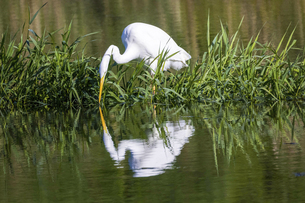 川で餌を探す白鷺の写真素材 [FYI04961345]