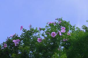 ムクゲ(アオイ科フヨウ属の落葉樹)のピンク色の花とつぼみと青空の写真素材 [FYI04962888]