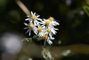 シロヨメナの花びらと昆虫の写真素材 [FYI04963327]
