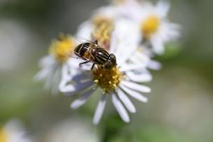 シロヨメナの花びらと昆虫の写真素材 [FYI04963328]