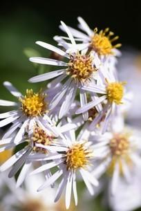 シロヨメナの花びらと昆虫の写真素材 [FYI04963329]