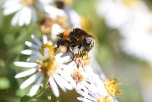 シロヨメナの花びらと昆虫の写真素材 [FYI04963330]