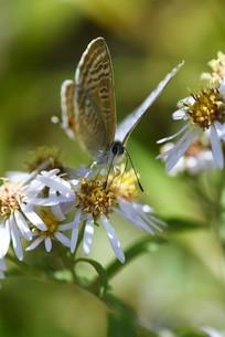 シロヨメナの花びらと昆虫の写真素材 [FYI04963331]