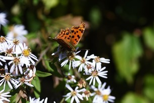 シロヨメナの花びらと昆虫の写真素材 [FYI04963332]
