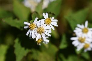 シロヨメナの花びらと昆虫の写真素材 [FYI04963333]