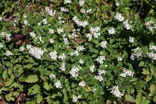シロヨメナの花びらと昆虫の写真素材 [FYI04963334]
