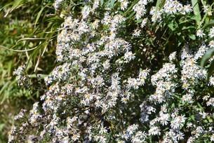 シロヨメナの花びらと昆虫の写真素材 [FYI04963335]