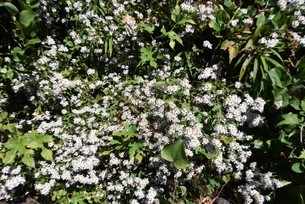 シロヨメナの花びらと昆虫の写真素材 [FYI04963336]