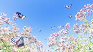 アサギマダラとフジバカマのエアリーフォトの写真素材 [FYI04963342]